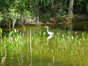 White bird wading in water