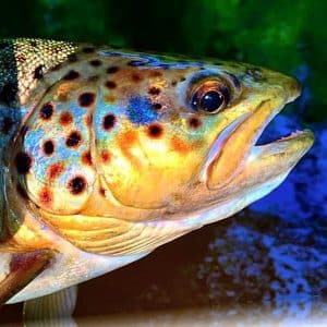 Close up of caught salmon