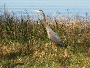 Heron by waters edge