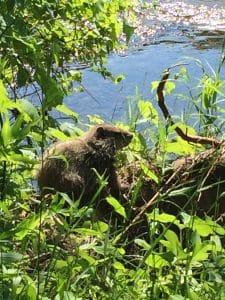 Beaver on log in water