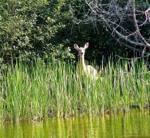 Deer in reeds on river bank