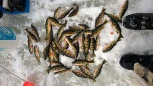 Caught fish on the ice