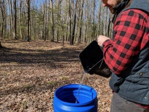 Maple sap poured from bucket