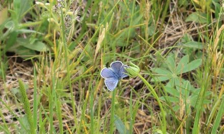 Hunt for Karner Blue Butterflies at Sanctuary