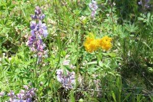 Loda Lake Wildflowers