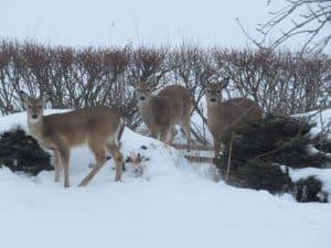 Deer in winter field